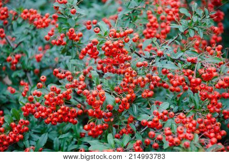 Bright red rowan or mountain ash (Sorbus aucuparia) berries as an autumn background