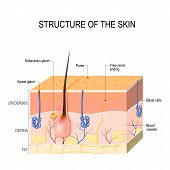 Structure of the skin. Skin layers with blood vessel free nerve ending pores and glands (sebaceous and sweat glands). Human anatomy poster