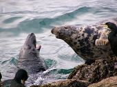 seals in conflict, peterhead, scotland poster