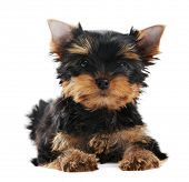 One little Yorkshire Terrier (3 month) puppy dog isolated over white background poster