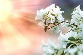 white Bougainvillea flower with sunlight and blur bokeh background. poster