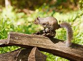 A gray squirrel perched on a split rail fence in the forest poster