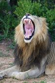 Magnificent male lion showing it's pink mouth and tongue and huge teeth poster