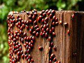 Ladybugs during the mating season, Calif poster