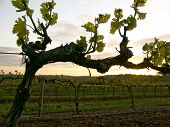 grapevine at sunset**purple fringing (chromatic aberations) in bright areas (sky)... better at smaller size... poster