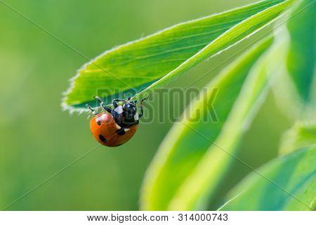 Ladybug (coccinella Septempunctata), Also Known As Ladybug, Ladybug Or Sunshine, Is The Most Common