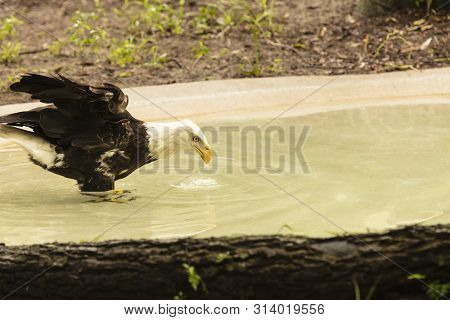 A Beautiful Bad Eagle Drinking Water From A Clear Pond