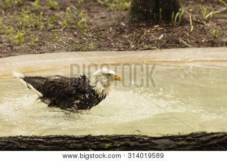 A Scene Of A Beautiful Bald Eagle Frolicking In The Water To Cool Down On A Hot Humid Day