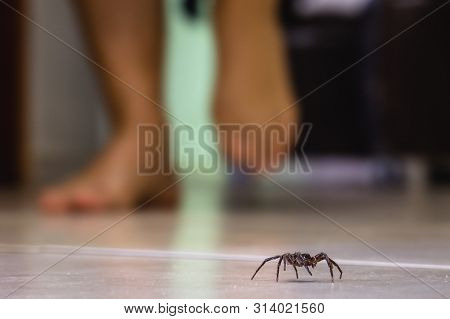 Poisonous Spider Indoors, Dangerous Venomous Animal. Aracanophobia Concept, Care To Avoid Spiders