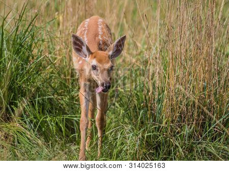 Young Deer, Cervidae, Standing In Grass On A Sunny Summer Afternoon