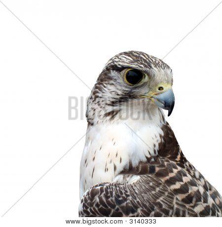 Bird Of Prey - Fulcon