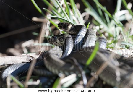 Grass Snake - mating