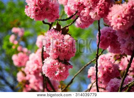 Spring Flowers Background. Blossom Tree Over Nature Background. Spring Flowers. Cherry Blossom. Sacu