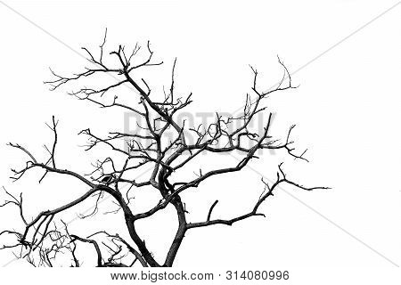 Silhouette Dead Tree And Branch Isolated On White Background. Black Branches Of Tree Backdrop. Natur