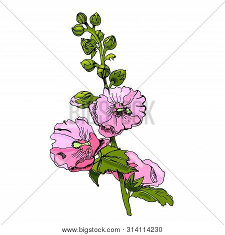 Blossoming  Bouquet  Of Pink Mallow Flowers And Green Leaves. Hand Drawn Ink And Colored Sketch Isol