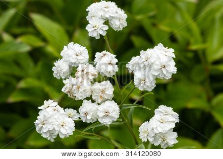 Achillea Ptarmica Ballerina Many White Flowers With Green Leaves. Blooms Profusely On The Plot. Tula