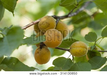 Apricot. Apricots Ripen On A Tree. Branch Of Tree With Apricot Fruits In The Garden