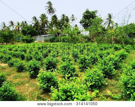 Jasmine Or Jasminum Sambac Cultivation At Gulf Of Mannar Biosphere Reserve In Tamil Nadu, India