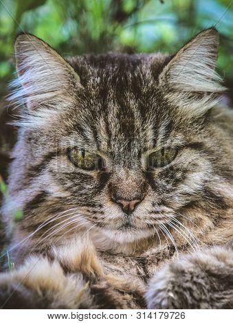 Vertical Picture Of Adorable Tabby Cat Outdoors Lying On Grass. Cat Outside. Close Up Cat Head. Grey