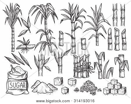 Sugar Plant. Agriculture Production Of Sugarcane Plantation Vector Hand Drawn Collection. Illustrati