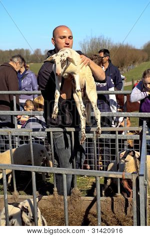 Young White Lamb Being Taken Out Of The Pen