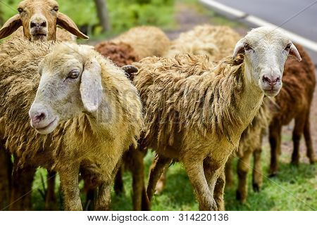 Sheep And Lambs In Flock Of Some Unknown Livestock Farm In Close Encounter Looking With A Curious An