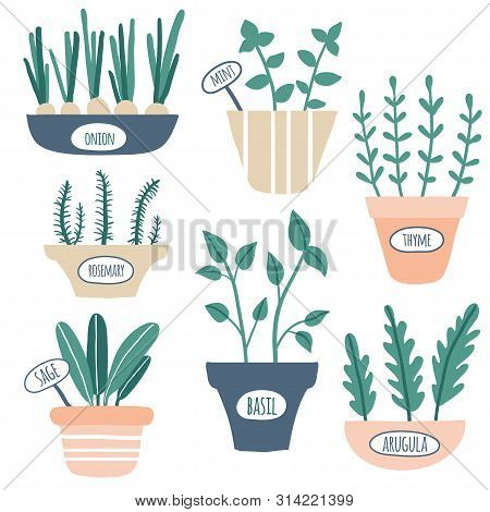 Kitchen Herbs Collection. Green Growing Sage, Rosemary, Mint, Thyme, Arugula, Onion With Labels. Cul