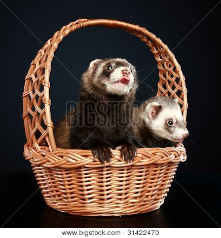 Two Ferrets in wattled basket on a dark-blue background poster