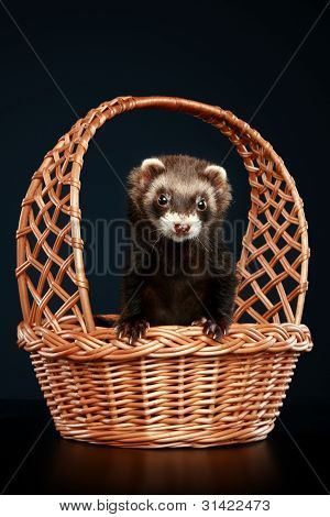 Ferret in wattled basket on dark-blue background poster
