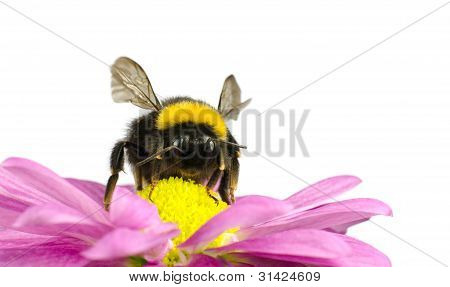Bumblebee pollinating on Pink Daisy Flower Isolated on White Background poster