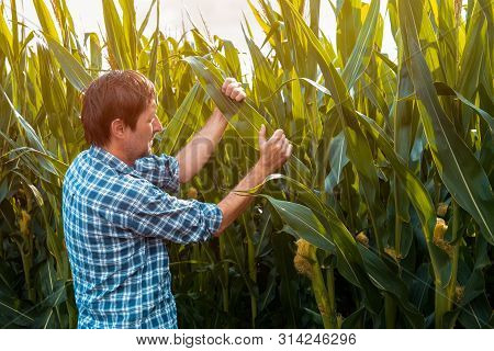Corn Farmer Examining Crops In Field. Authentic Male Agronomist Is Controlling Development Of Green