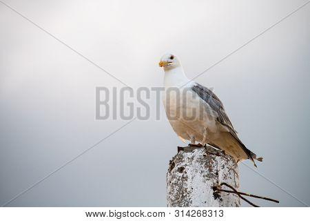 Nice Big Seagull On Sea Coast Nature Birds Fauna Summer Vacation