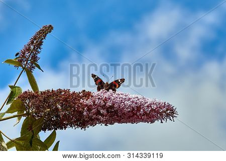 A Red Admiral Butterfly (vanessa Atalanta) Feeding On A Buddleia Bush, Showing A Close-up Of The Pro