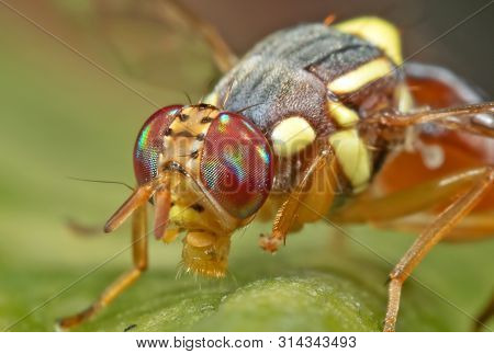 Macro Photography of Wasp Mimic Fly on Leaf poster