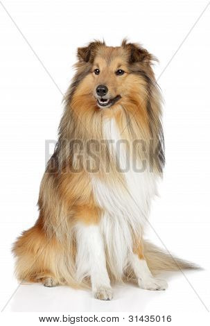 Shetland sheepdog. Sheltie sits on a white background poster