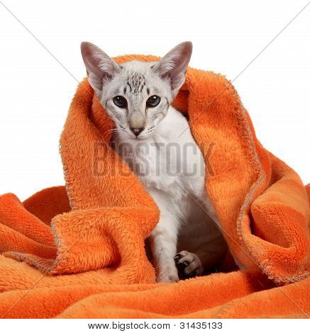 Oriental Blue point siamese cat in soft blanket poster