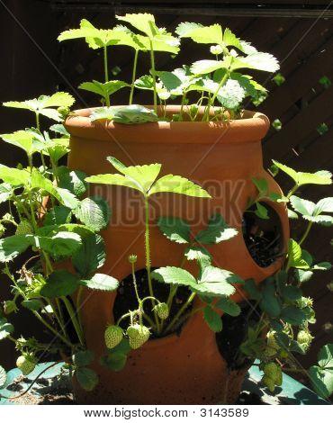 Tree Frog On Strawberry Pot