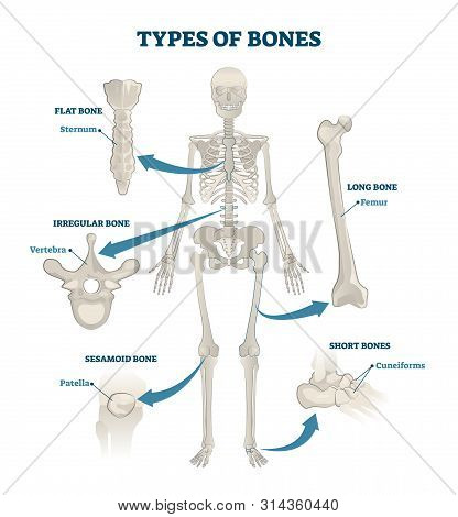 Types Of Bones Vector Illustration. Labeled Anatomical Skeleton Set Scheme. Graphic With Skull And S