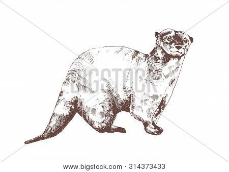 Eurasian Otter Hand Drawn With Contour Lines On White Background. Beautiful Monochrome Sketch Drawin
