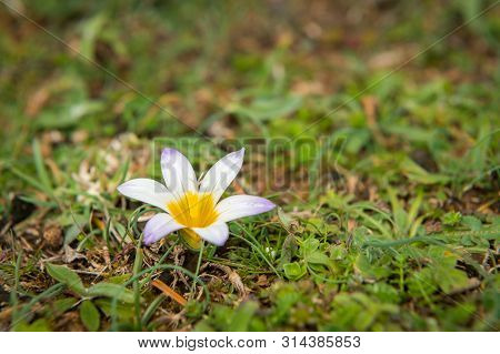 Closeup Of A Small Flower (ramulea Bulbocodium, Iridaceae) In Spring In Croatia