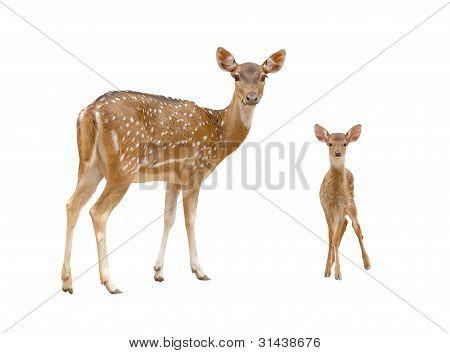 axis deer in chiang mai night safari