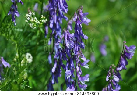 Closeup Of Vicia Cracca Flowers. This Wild Plant Is Also Known As Cow, Bird, Tufted, Boreal Or A Blu
