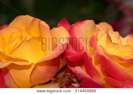Flowers, Fire Roses, Orange Yelow Red Mixed Colors