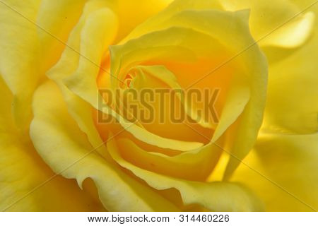 Flowers, Yellow Rose,  Symbol Of Friendship , Sea Of Petals