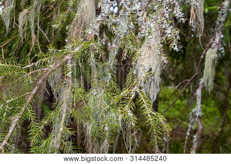 Usnea Hanging In The Trees Like An Old Beard, And Are Symbolic For Clean Air, These Mosses Are Antib