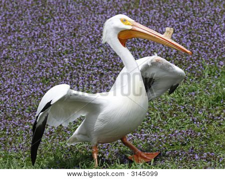 Pelican Pose