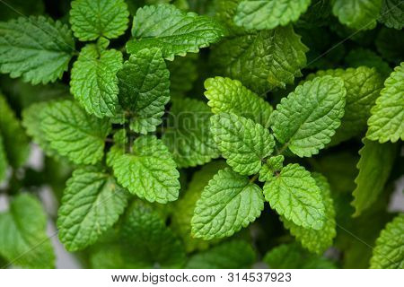 lemon balm (melissa) herb leaves closeup