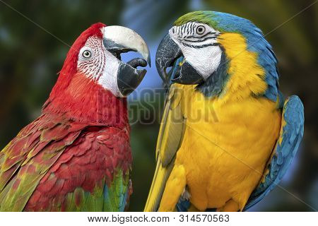 The Parrots Love Each Other. Close Up.