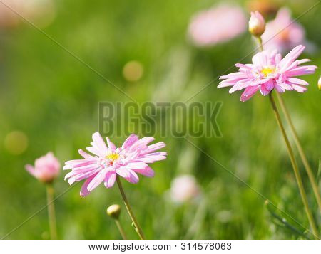 Pink Flower The Petals Are Colored To See The Yellow Pollen Name Gerbera Jamesonii ,compositae,gerbe