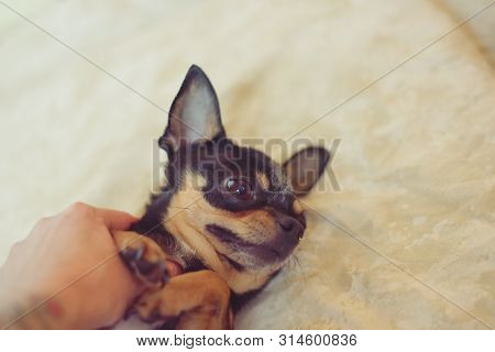Small Dog Chihuahua In The Girl's Hands